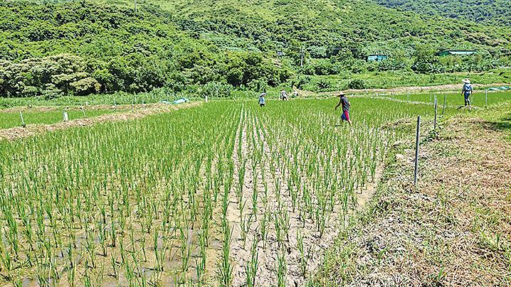 二澳農作社種植的稻米。(二澳農作社FB)