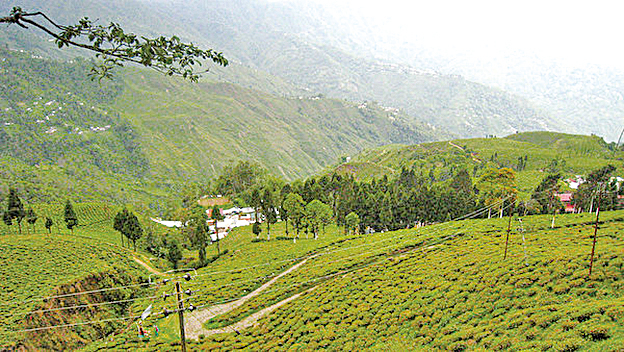 低矮的茶樹沿著山坡種植,景色如梯田般壯麗。