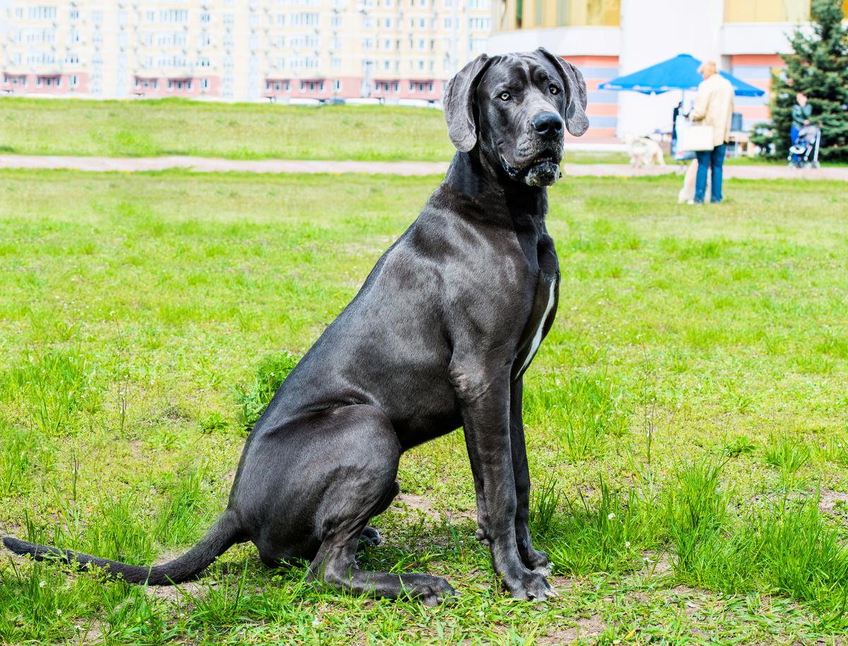 健力士世界紀錄官方近日宣佈,世界上最高的狗狗弗雷迪去世。圖為示意圖,與本文無關。(shutterstock)