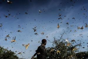 組圖:東非遭遇數十年來最嚴重蝗災