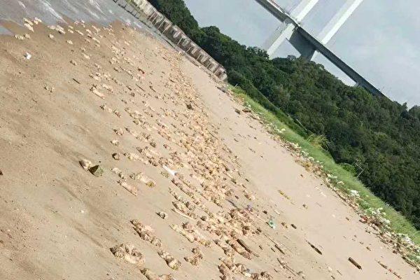 7月11日早上,廣東東莞一處海灘和附近海岸線突然驚現密密麻麻的豬腳和動物內臟。(微博截圖)