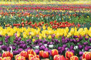 坎培拉花節將於春季開幕 重返聯邦公園