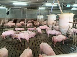 生產商因瘟疫關閉工廠 大陸豬肉供應雪上加霜