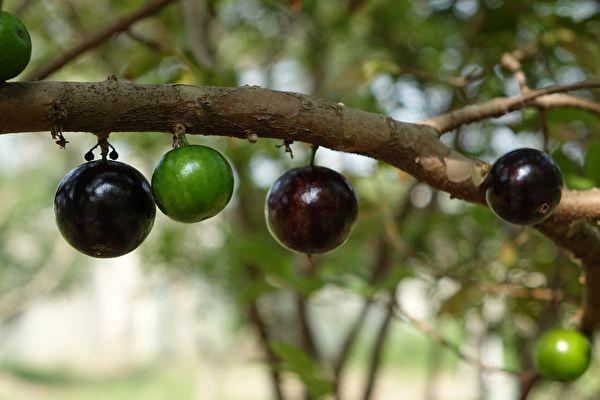 中共對外一直聲稱糧食充足,但近日曝出多地農民被以惡劣手段強迫砍樹種糧。圖為果樹示意圖。(PxHere)