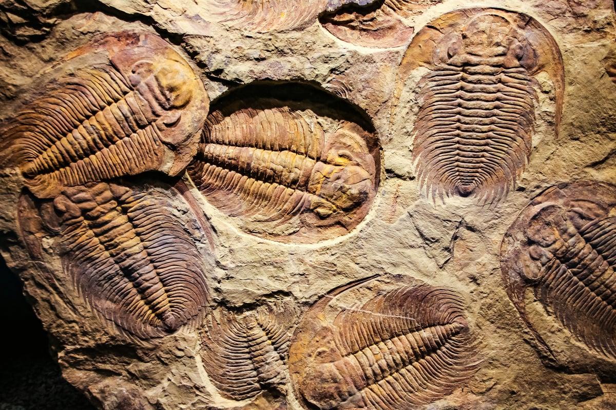 最新研究發現5.4億年前的三葉蟲用腿呼吸。(Shutterstock)