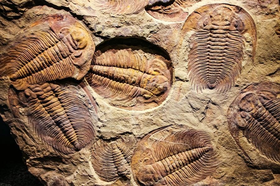新研究:5.4億年前的三葉蟲用腿呼吸