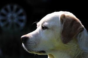 【影片】準確率95% 泰國靈犬能嗅出無症狀染疫者