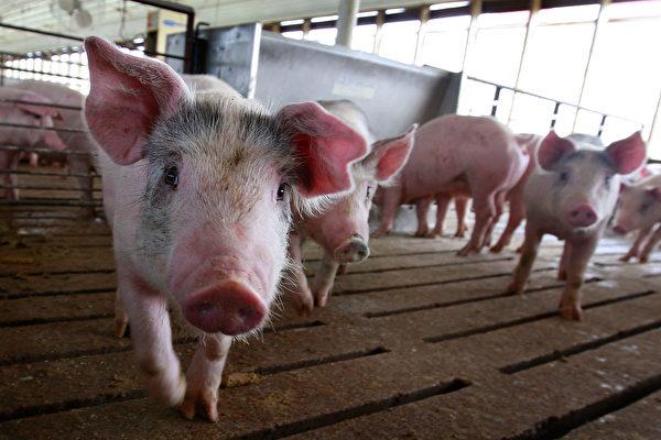 豬瘟猖獗下,儘管貿易戰下中共征美國豬肉62%的高關稅,但近期卻大量進口美國豬肉。(Getty Images)