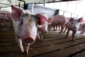 非洲豬瘟猖獗 中國大量購買美國豬肉