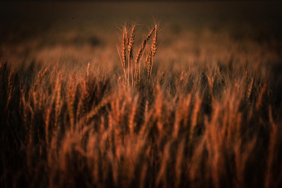 中共稱測出有害生物 澳大麥出口商:無中生有