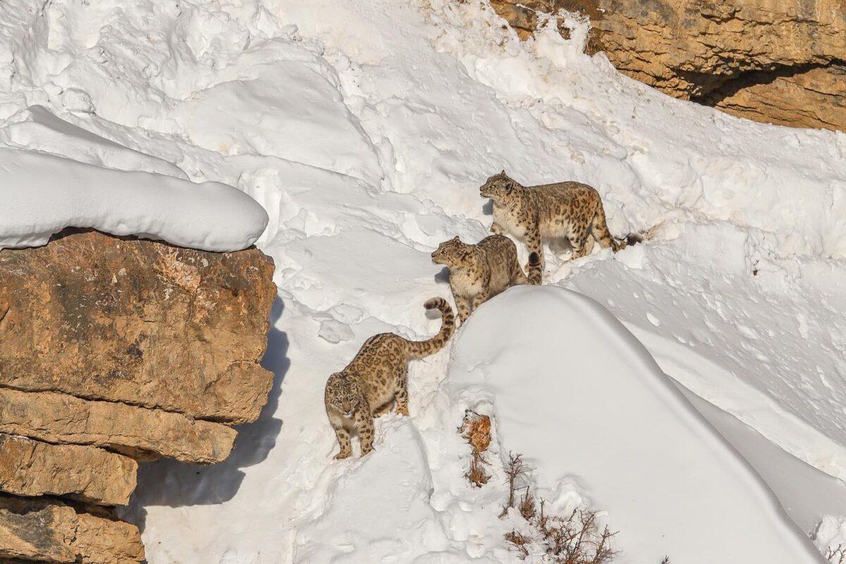 因為人們非法捕獵及棲息地縮小,雪豹的數量正急劇減少,現已成為瀕危物種。(德賽提供)