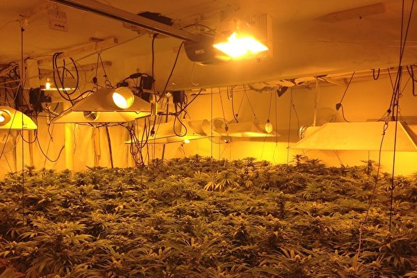 私種大麻偷運上千公斤到紐約 三華人認罪