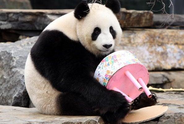 圖為中共贈送給澳洲的熊貓福妮在阿德萊德動物園度過4歲生日。(Morne de Klerk/2010 Getty Images)