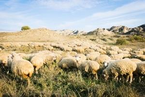 英國羊群排成神秘的「麥田圈」 令人費解