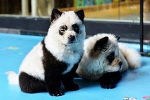 四川寵物咖啡館將小狗染成熊貓 網民砲轟