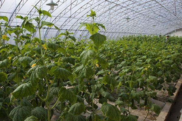 中國蔬菜大棚使用劇毒農藥 俄民眾要求關閉