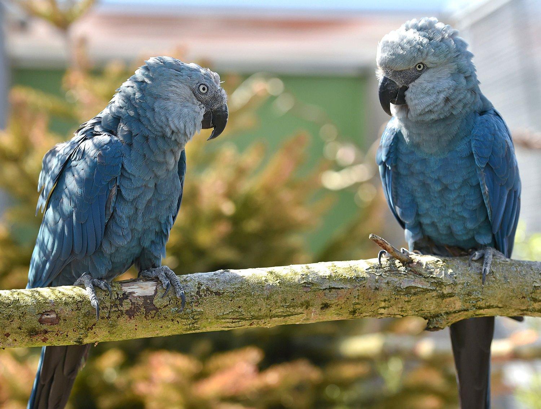 科學家表示,現在的大自然比人類歷史上任何時候都面臨更大的麻煩,超過100萬種植物和動物瀕臨滅絕。圖為斯派克斯金剛鸚鵡(the Spix』s macaw),也是瀕臨絕境的鳥類之一。(AFP PHOTO/PATRICK PLEUL/GERMANY OUTPATRICK PLEUL/AFP/Getty Images)