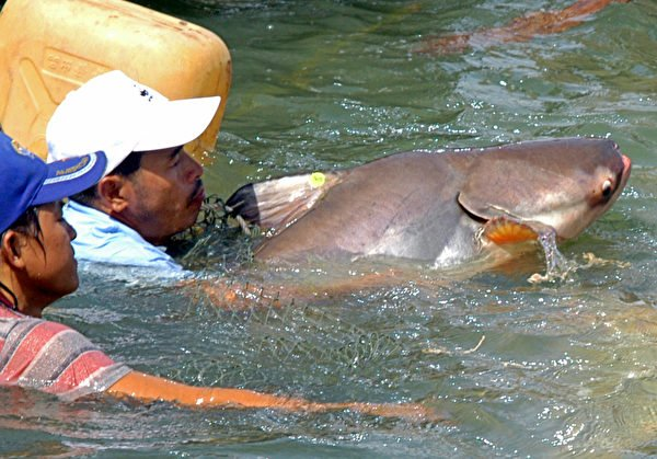 湄公河擁有很多高經濟價值的魚類。圖為2005年6月15日柬埔寨金邊一個呼籲保護瀕臨滅絕物種的儀式上,放生一條湄公河巨鯰。(Khem Sovannara/AFP)