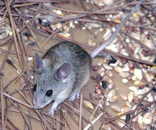 繼內蒙古之後,雲南省日前也傳出鼠疫疫情。一名3歲兒童被診斷為疑似腺鼠疫病例。(法新社)