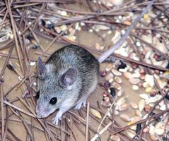 雲南也現鼠疫疫情 當地啟動緊急機制