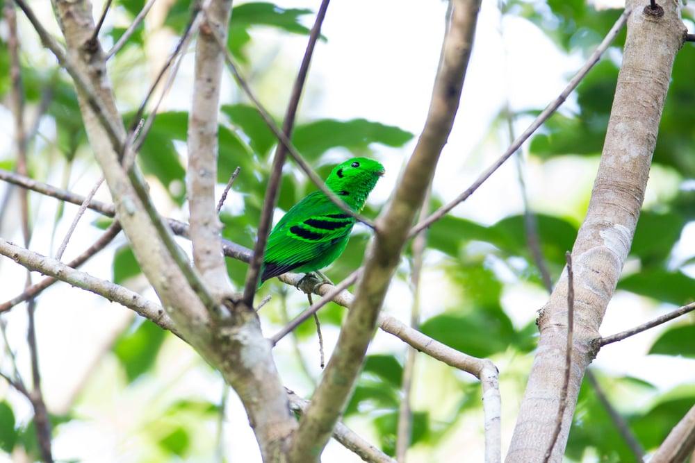 綠闊嘴鳥。(Shutterstock)