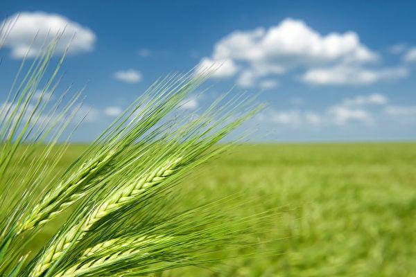 5月21日,進入夏季的第二節氣「小滿」,正好是秋天播種的冬小麥成熟的時候。此時天氣會較立夏時更為悶熱、潮濕,要如何與夏天共處,才能達到健康的身體呢?(Fotolia)