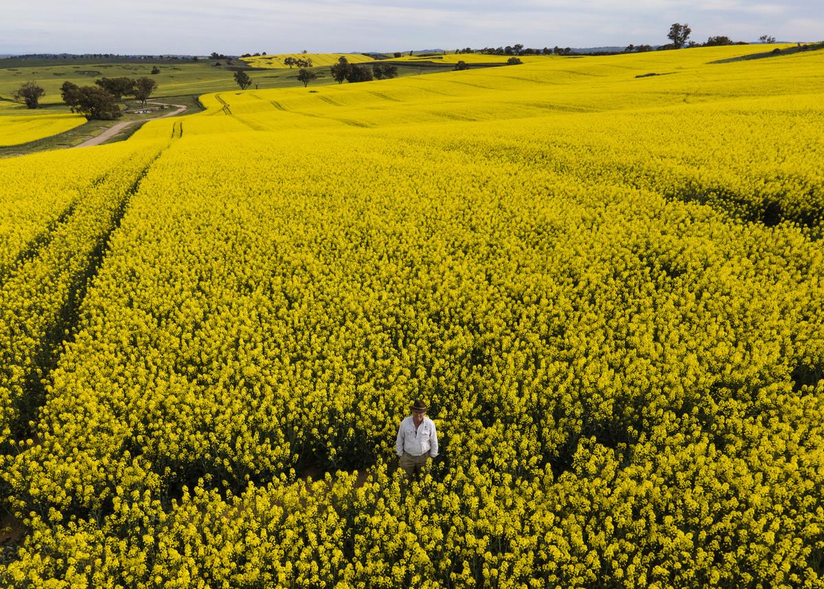 圖為澳洲偏遠地區一望無際的油菜籽田。(Brook Mitchell/Getty Images)
