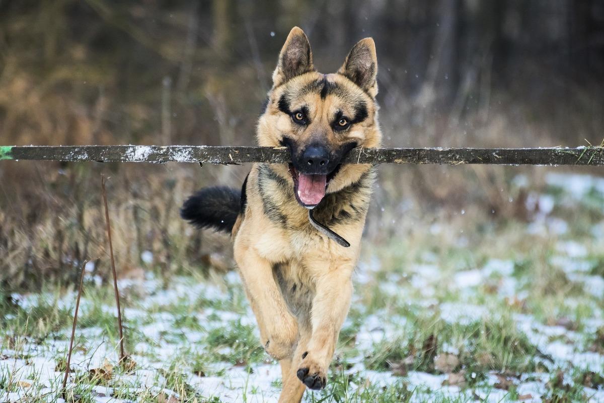 網上流傳的短片顯示,一隻小狗很貼心地替盲人移除路障。圖為一隻德國狼犬口中咬著棍子,與本文無關。(Pixabay)