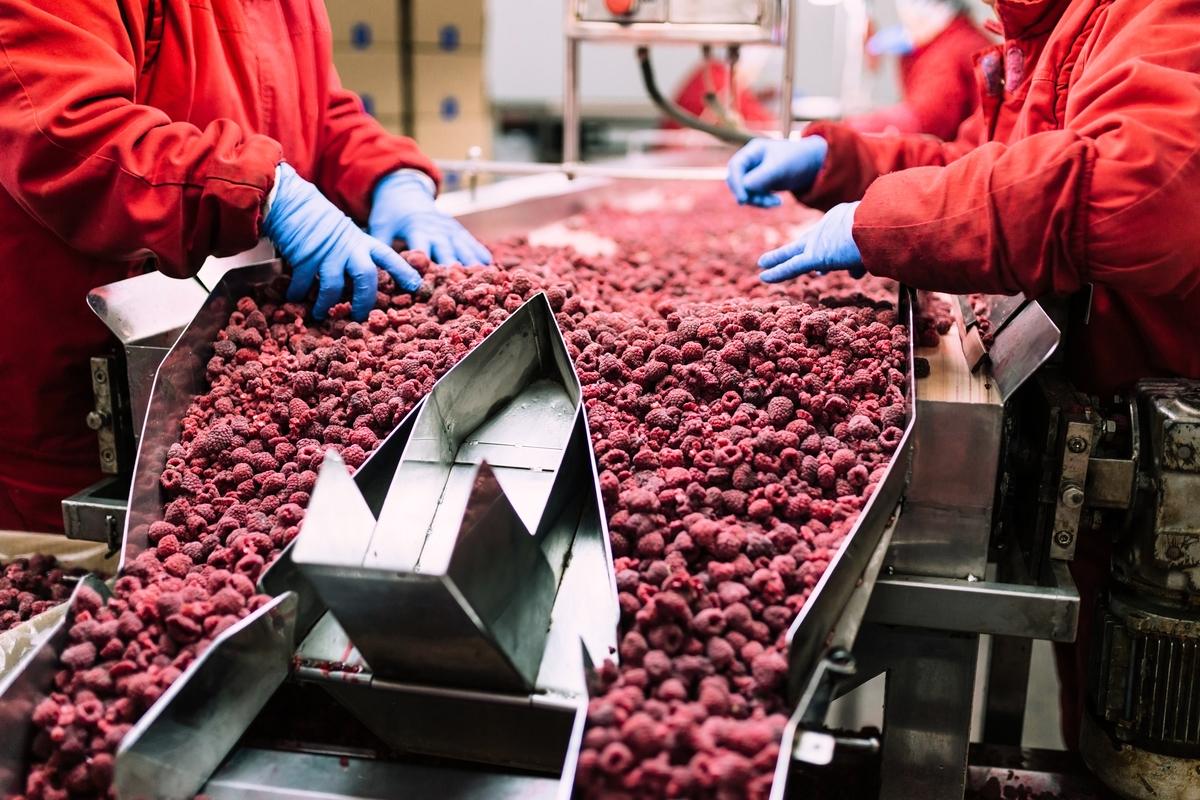 工人們正在生產線上包裝冷凍紅莓。(shutterstock)