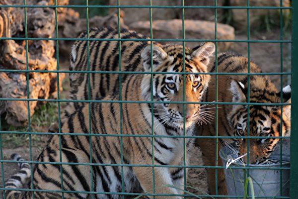 被關在動物園的老虎。(ANWAR AMRO/AFP/Getty Images)
