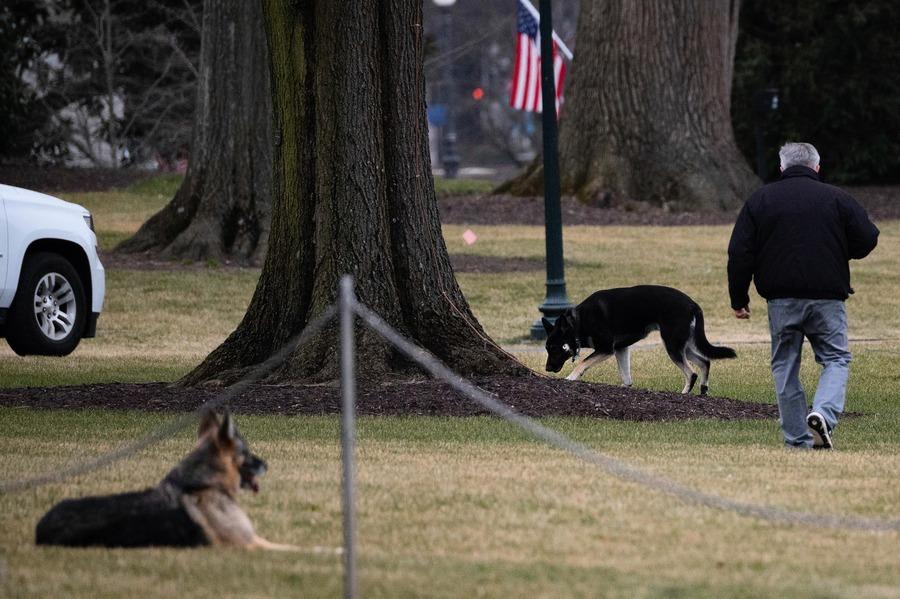 拜登愛犬白宮咬人 被送回特拉華州老家