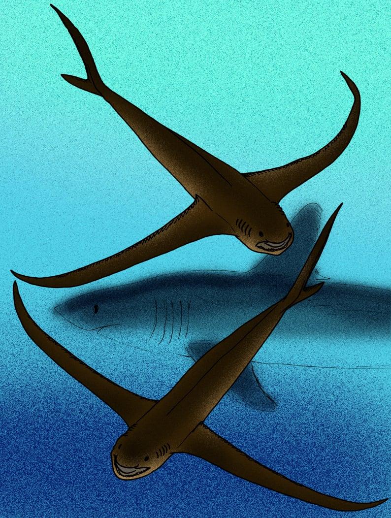 「鷹鯊」(Aquilolamna milarcae)的復原圖。(Apokryltaros/維基百科)