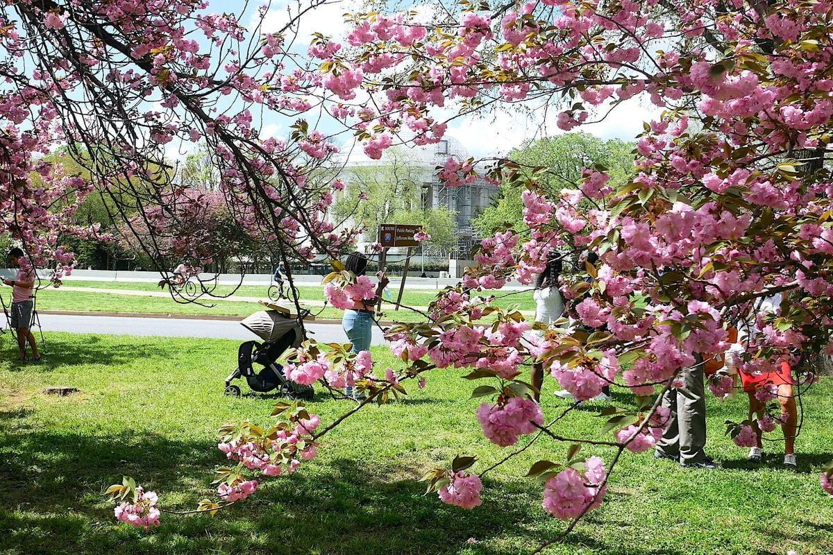 圖為2021年4月11日,美國華盛頓DC傑佛遜紀念堂附近盛開的櫻花。(董韻/大紀元)