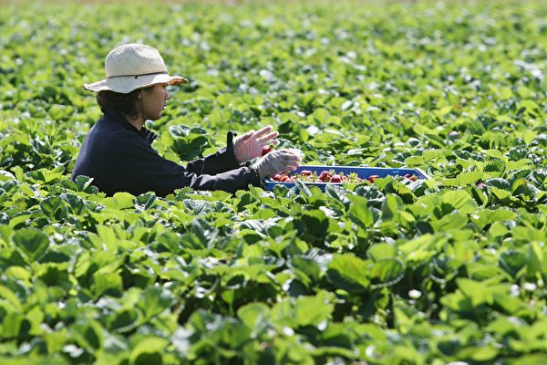 澳洲政府同意廢除英國背包客延期打工度假簽證必須在偏遠地區農場工作88天的規定。(Sandra Mu/Getty Images)