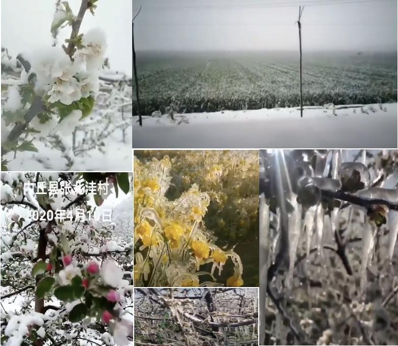 這些影片顯示種植蘋果、車厘子的果農哭喊老天爺;亦有拍攝小麥、油菜慘狀的民眾感概:今年的莊稼又該受凍害了。(影片截圖合成)