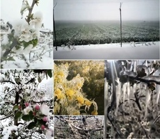 【現場影片】大陸多地作物被凍 果農連叫苦