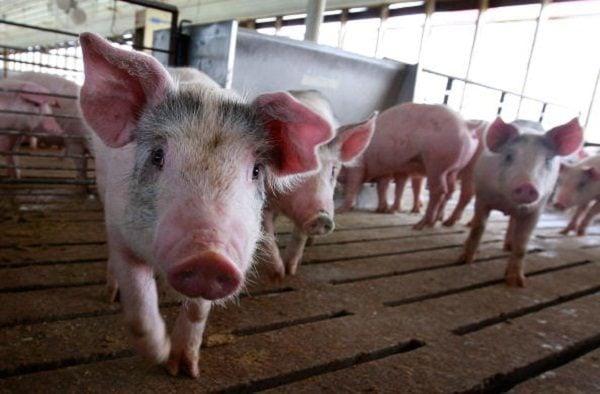 大陸非洲豬瘟疫情嚴重。圖為資料圖。(Scott Olson/Getty Images)