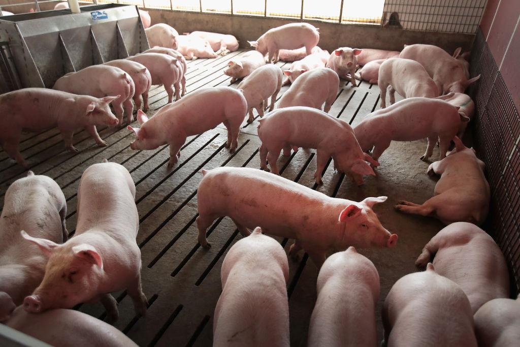 美國伊利諾伊州的一養豬場。(Scott Olson/Getty Images)