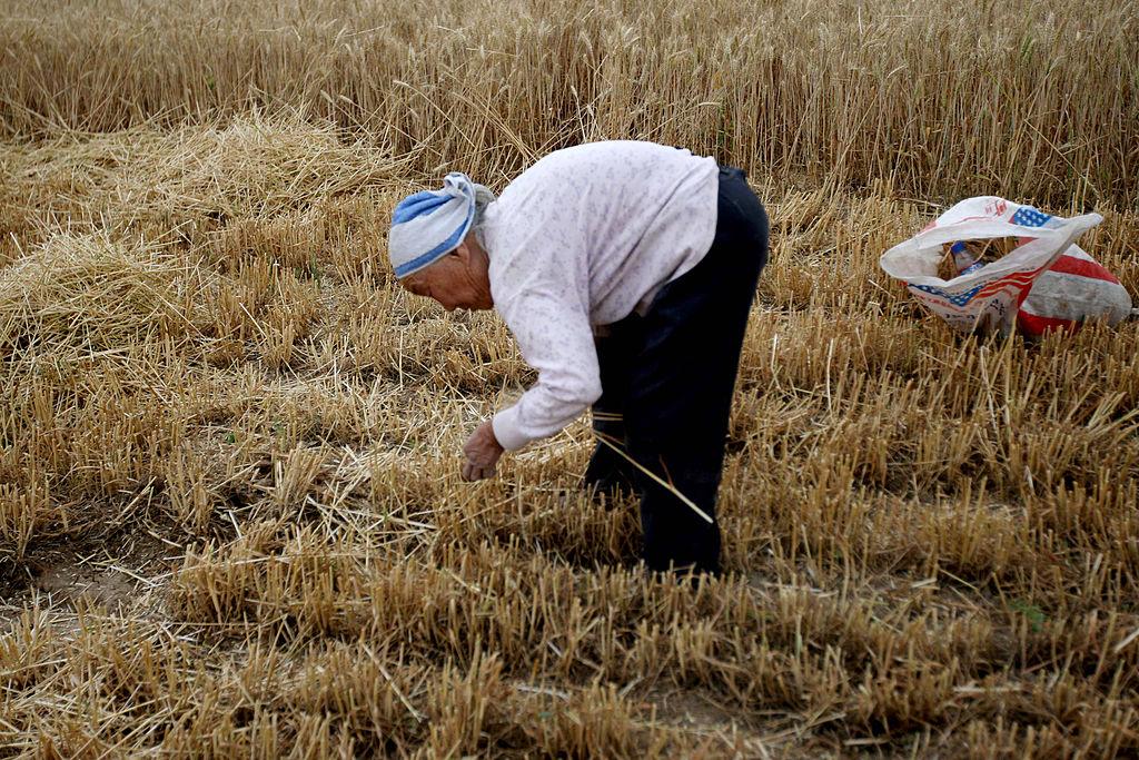 中共農業農村部畜牧獸醫局發佈通知,要求在動物飼料中減少粟米和豆粕用量,再次引發對中國缺糧的猜測。圖為安徽淮北一名農民在割麥子。(ChinaFotoPress/Getty Images)