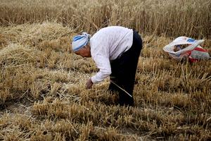 缺糧?中共要求在飼料中減少粟米豆粕用量