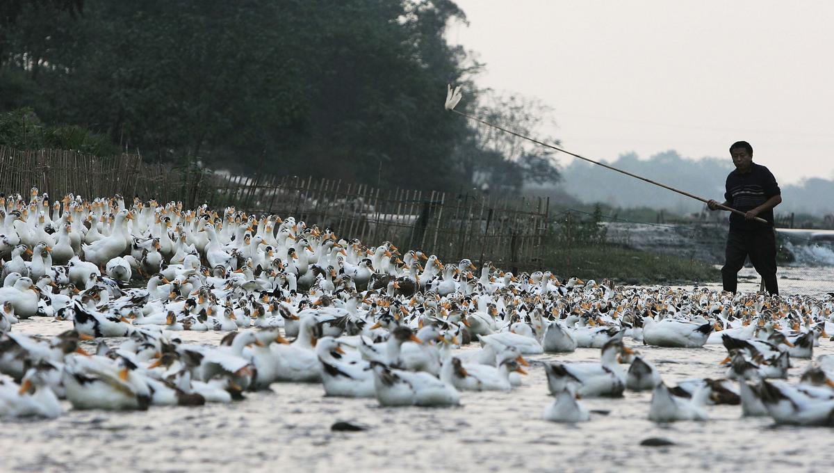 中澳集團擁有肉鴨產業一條龍配套體系,肉鴨綜合生產能力位居中國同行業前三名。圖為四川省彭州市的一個養鴨農場。(Getty Images)