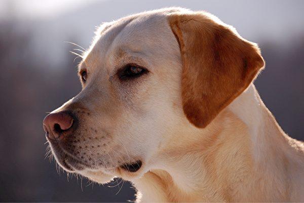 英國研究人員正在訓練小狗藉由嗅覺篩檢中共肺炎病人。圖為一隻拉布拉多犬。(Pixabay)