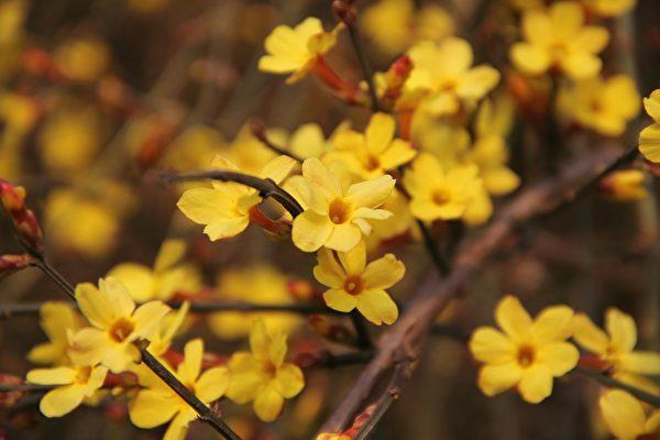 立春第一候的花信風,點開迎春花,錦繡滿人間。(pixabay)