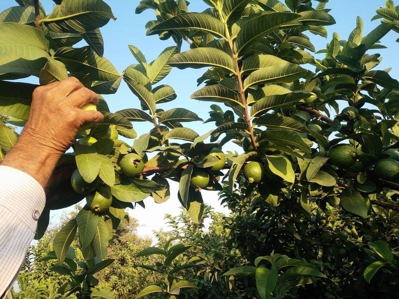 印度男子15年獨力種1萬棵樹 讓瘠地變果園