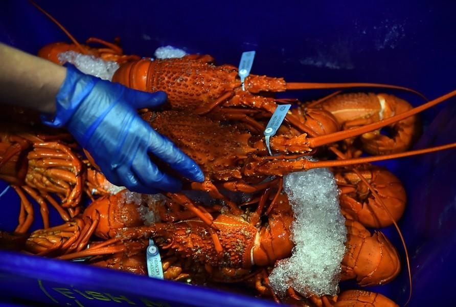 本港截獲逾半噸走私澳洲龍蝦  中共禁令不敵需求
