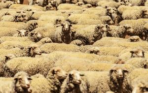 澳洲羊肉對華出口量接近史上最高紀錄