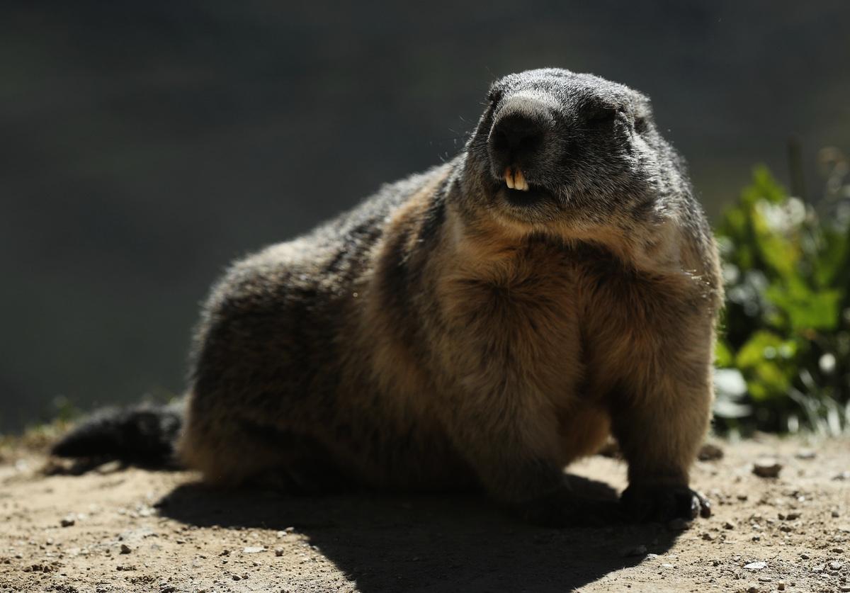 蒙古國日前出現因生吃土撥鼠而感染鼠疫並死亡的案例。圖為2016年8月22日,瑞士阿爾卑斯山上的一隻土撥鼠。(Sean Gallup/Getty Images)