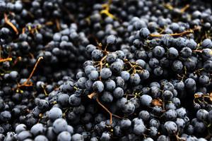 澳洲釀酒葡萄今年產量創紀錄 質量極佳