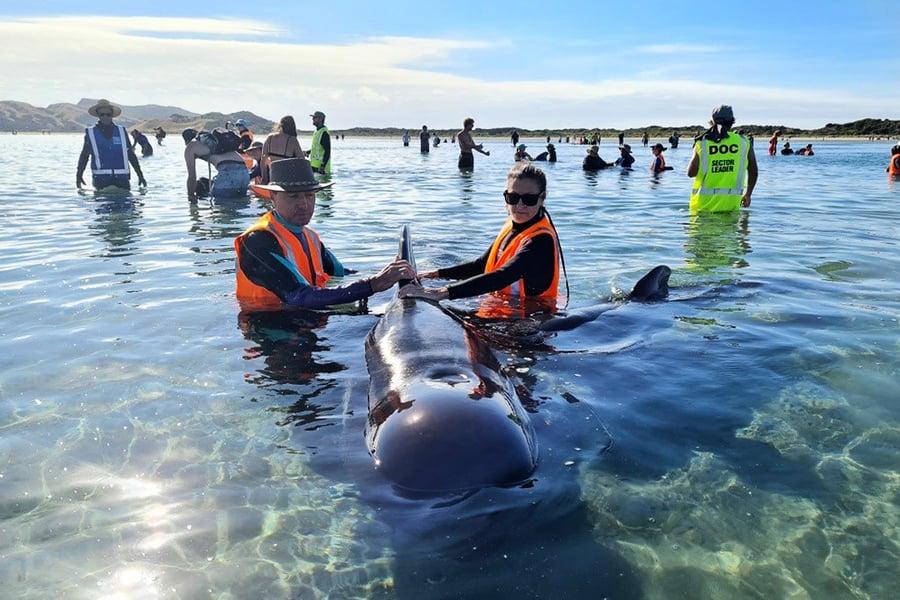領航鯨擱淺紐西蘭「致命海灘」至少15頭喪命