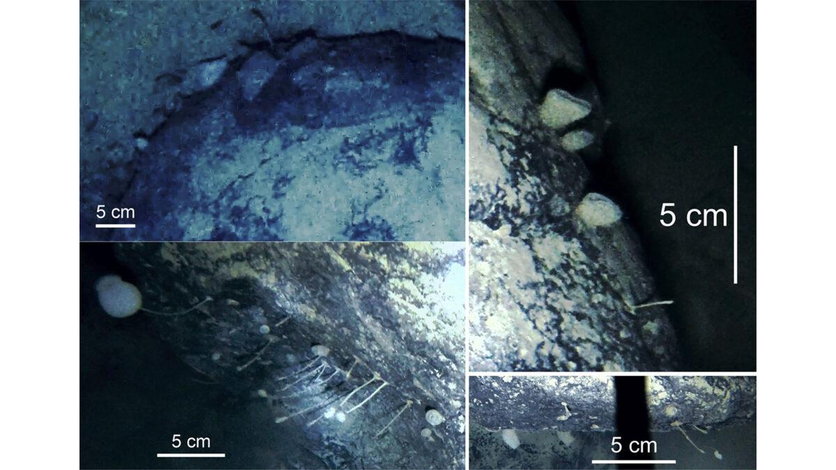 近期,英國南極調查局(BAS)地質學家團隊在南極菲爾希納龍尼冰架以下900米深海處竟意外發現狀似海綿的未知生物。(BAS提供)